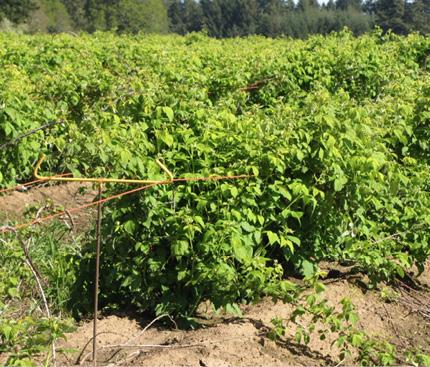Figure 8. Simple trellis for black raspberry (shown) or primocane-fruiting raspberry.