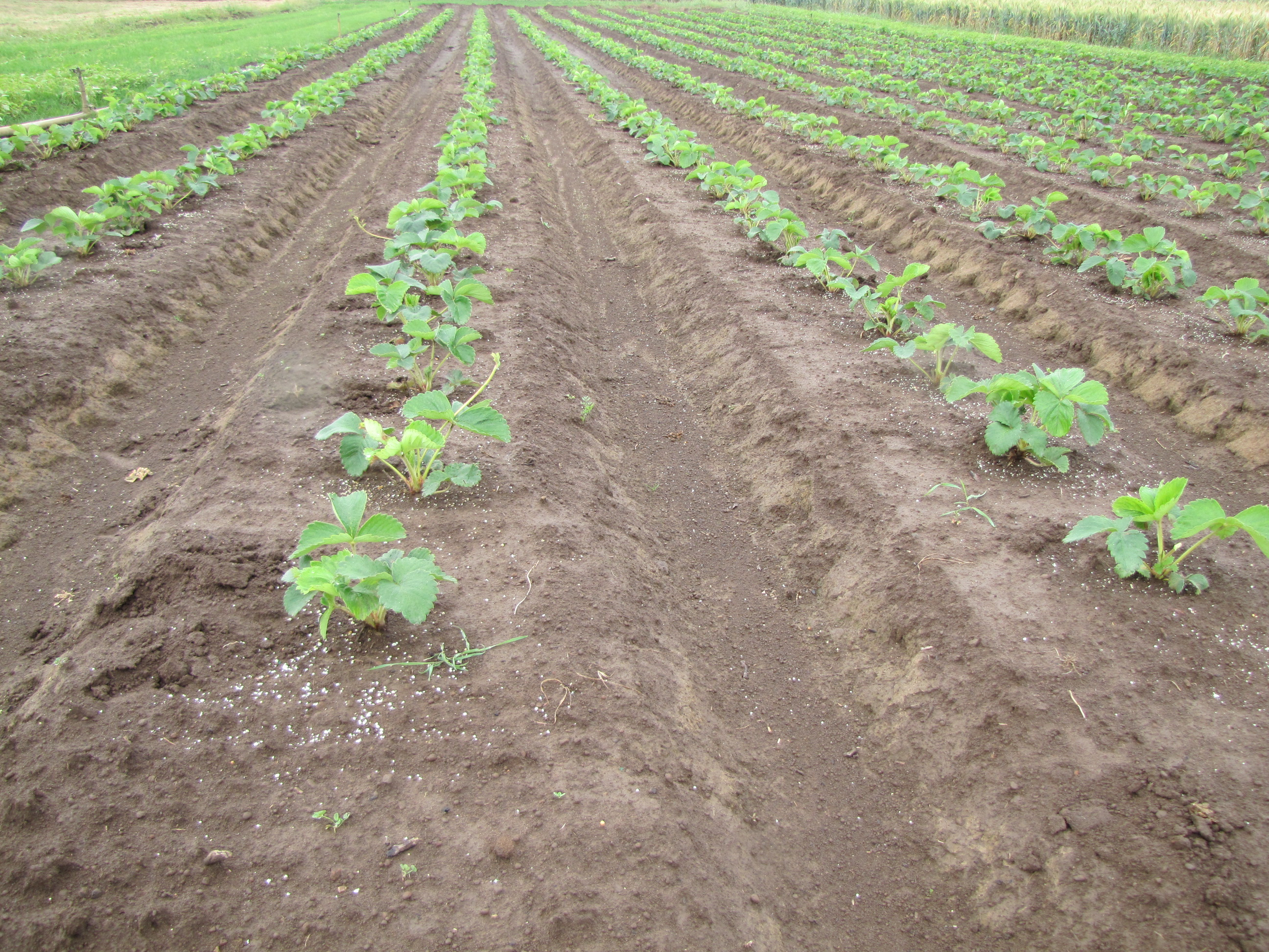 Figure 7. Granular fertilizer applied to the in-row area of June-bearing strawberries in the planting year.