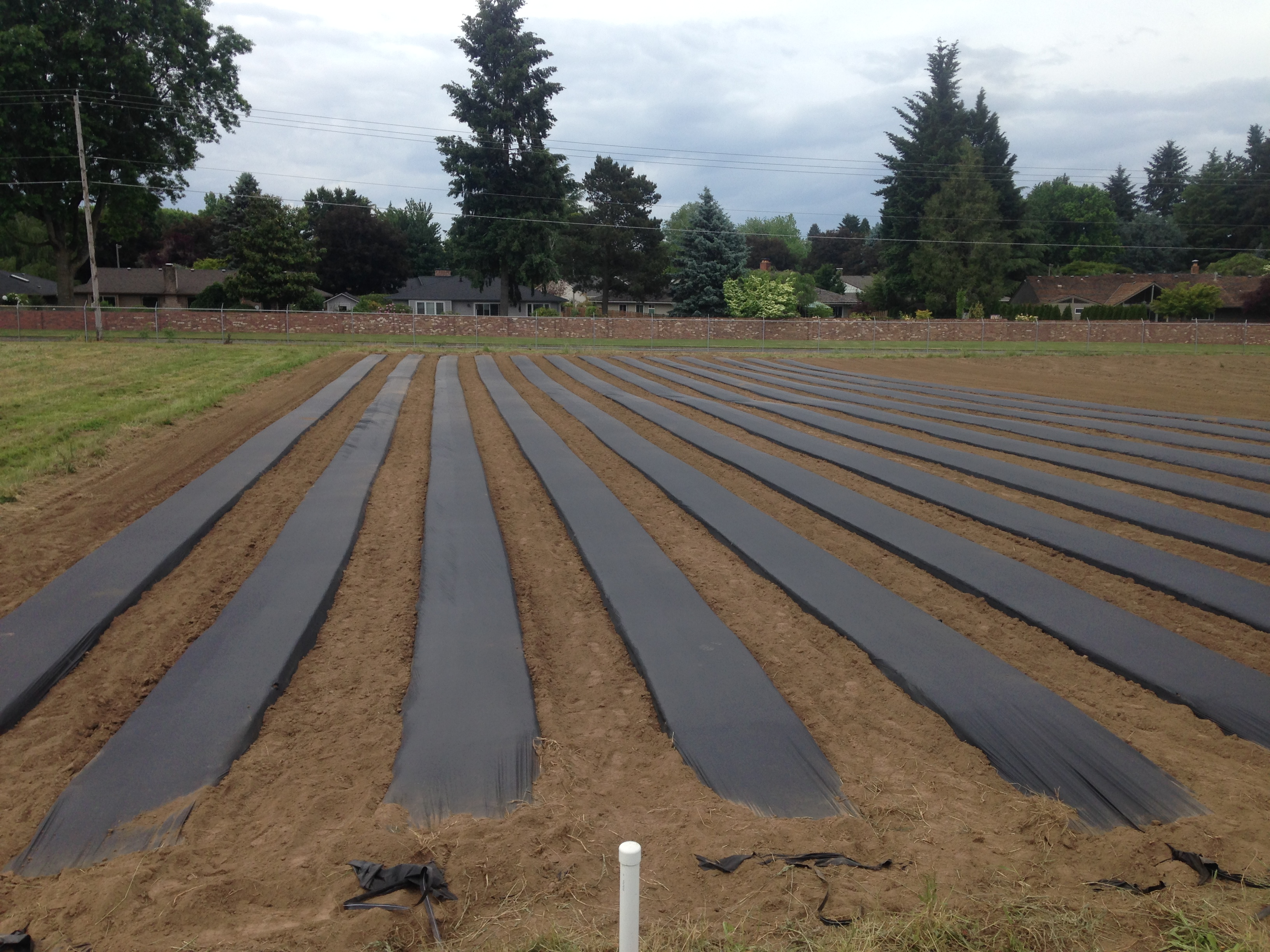 Figure 4. Raised beds topped with drip irrigation and plastic in preparation for planting day-neutral strawberries.