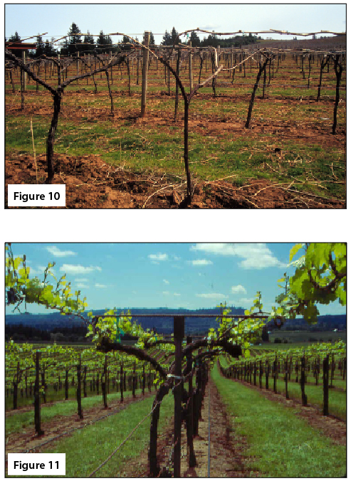 Figure 10. Dormant GDC-trained vine, cane pruned. Figure 11. GDC-trained vine, spring, center of row view.