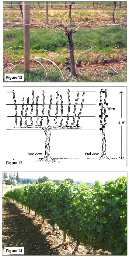 Figure 12. Vertical hedgerow training, cane pruned, dormant. Figure 13. Two-cane Kniffen. Figure 14. Vertical hedgerow, cane pruned, growing season.