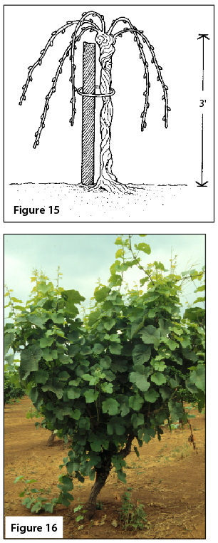 Figure 15. A head‑trained vine. Figure 16. Head-trained vine.