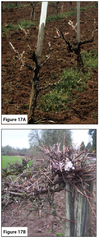 "Figure 17A. Correctly pruned, head-trained vineyard. Figure 17B. Incorrectly ""hedged"" vine."