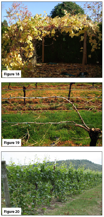 Figure 18. Grapes trained to an arbor. Figure 19. Scott-Henry training system, after cane-pruning. (Left side of vine) Figure 20. Scott Henry training system, during fruiting season, showing gap between upward- and downward-trained shoots.