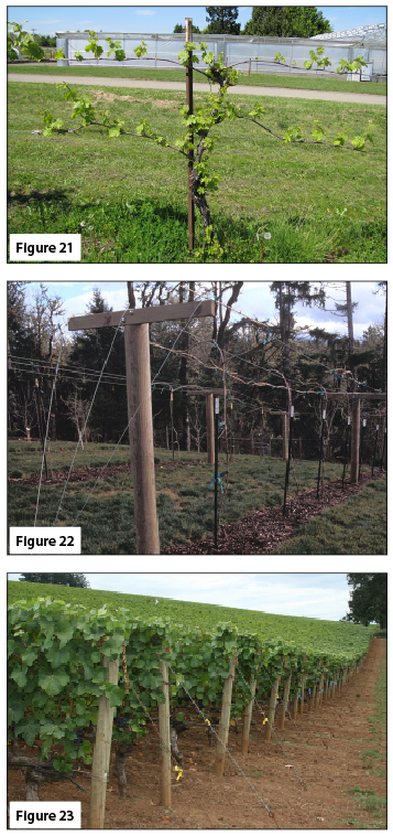 Figure 21. Four-cane Kniffen, early spring. Figure 22. Trellis for GDC. Figure 23. Trellis for VSP-trained vineyard.