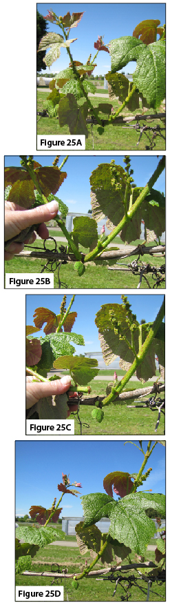 Figure 25. Shoot thinning process. 25A. Two shoots per node, before thinning. 25B. Ready to remove the least productive shoot. 25C. Snapping off the shoot. 25D. One shoot is left per node.