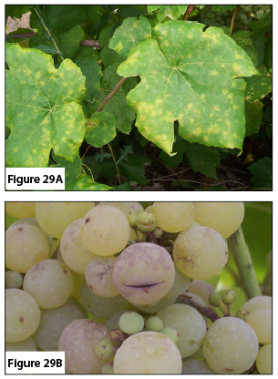 Figure 29A. Powdery mildew on leaves. Figure 29B. Powdery mildew on fruit.