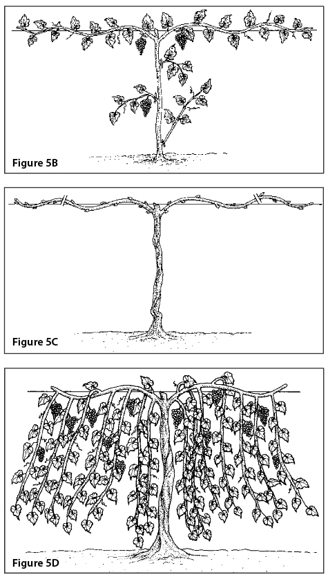 Figure 5B. Cane pruning, second growing season (double lines show pruning cuts). Figure 5C. Cane pruning, second winter (double lines show pruning cuts). Figure 5D. Cane pruning, third growing season.