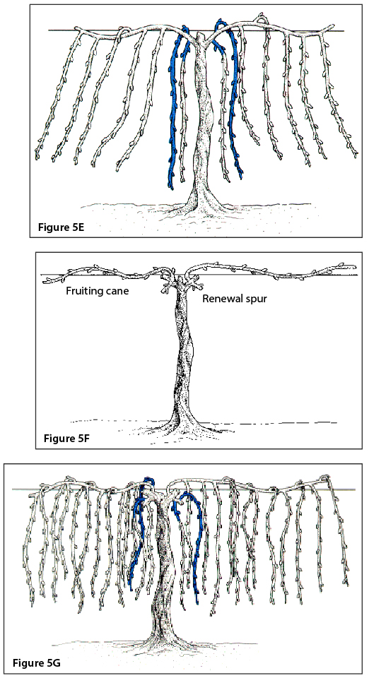 Figure 5E. Cane pruning, third winter before pruning (shaded canes will be retained for next season's fruiting wood). Figure 5F. Cane pruning, third winter after pruning. Figure 5G. Cane pruning, fourth winter before pruning (shaded canes will be retained for next season's fruiting wood).