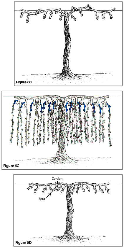Figure 6B. Spur pruning, third winter after pruning. Figure 6C. Spur pruning, fourth winter before pruning (shading indicates fruiting spurs that will be retained for next season). Figure 6D. Spur pruning, fourth winter after pruning.