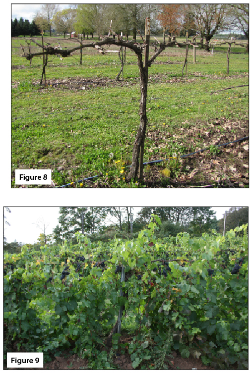 Figure 8. Single downward hanging canopy, spur pruned, dormant. Figure 9. Single downward hanging canopy, near harvest.