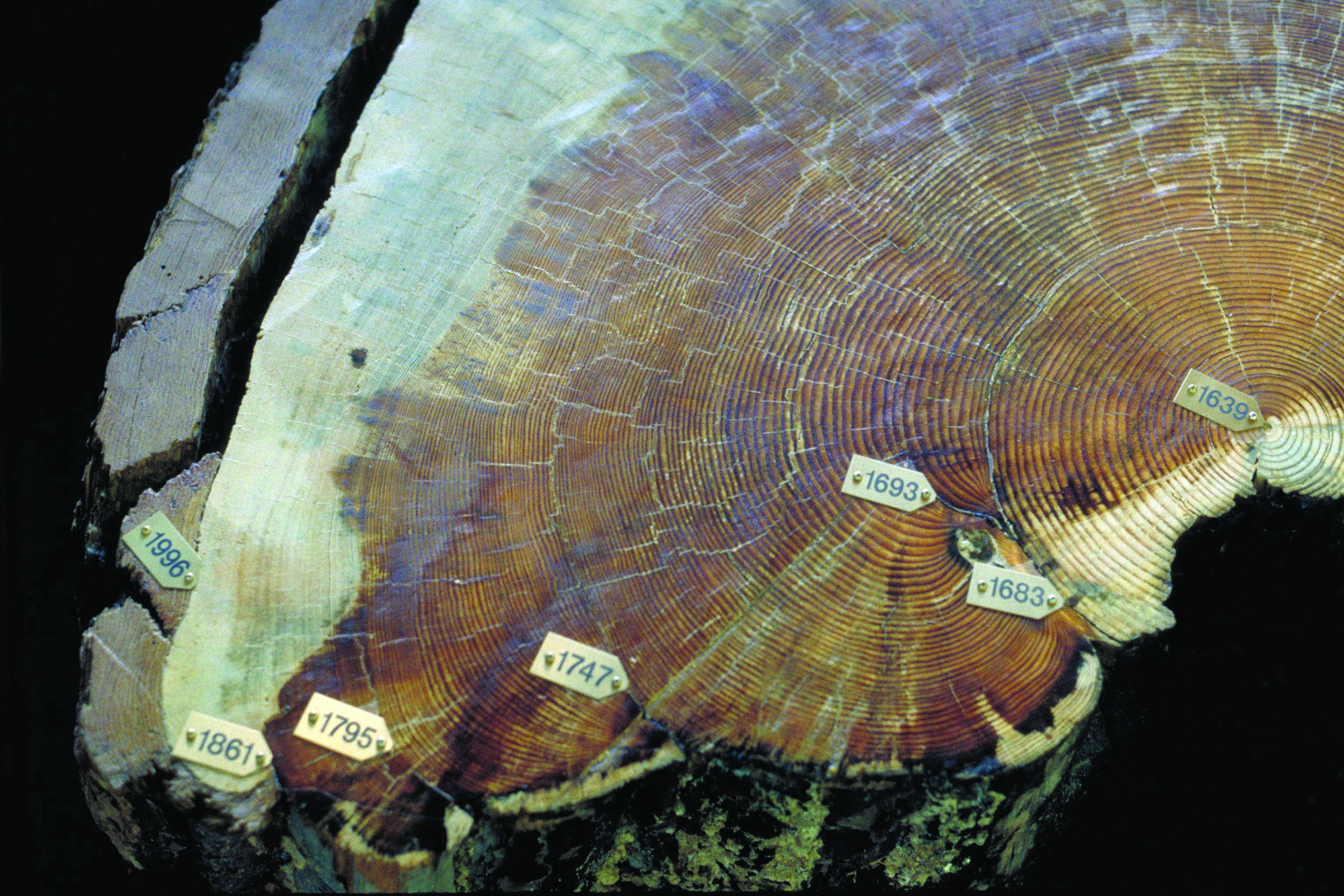 Figure 3. Fire scars are visible on this crosscut section of Pinus ponderosa.