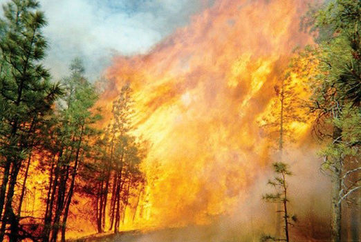 Figure 10. A crown fire races through the canopy of a ponderosa pine forest.