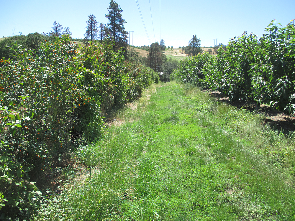 A hedgerow provides refuge for pollinators in an orchard. Photo: Karen Lamson, Wasco SWCD