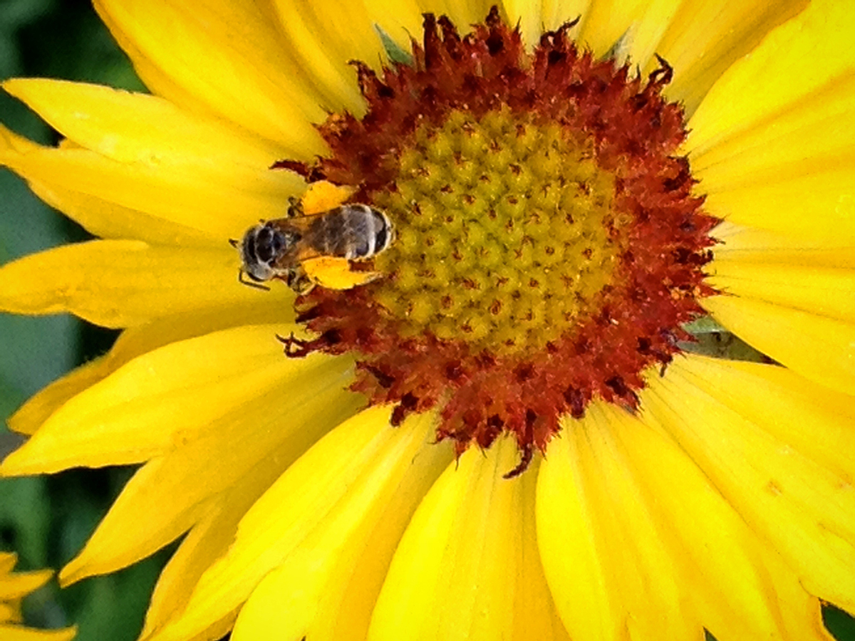 Native bee on a Blanket Flower, a native perennial. Photo: Humble Roots Farm and Nursery LLC