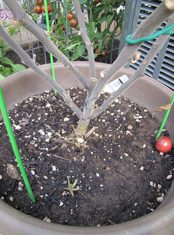 A grafted and pruned tomato plant, growing in a container