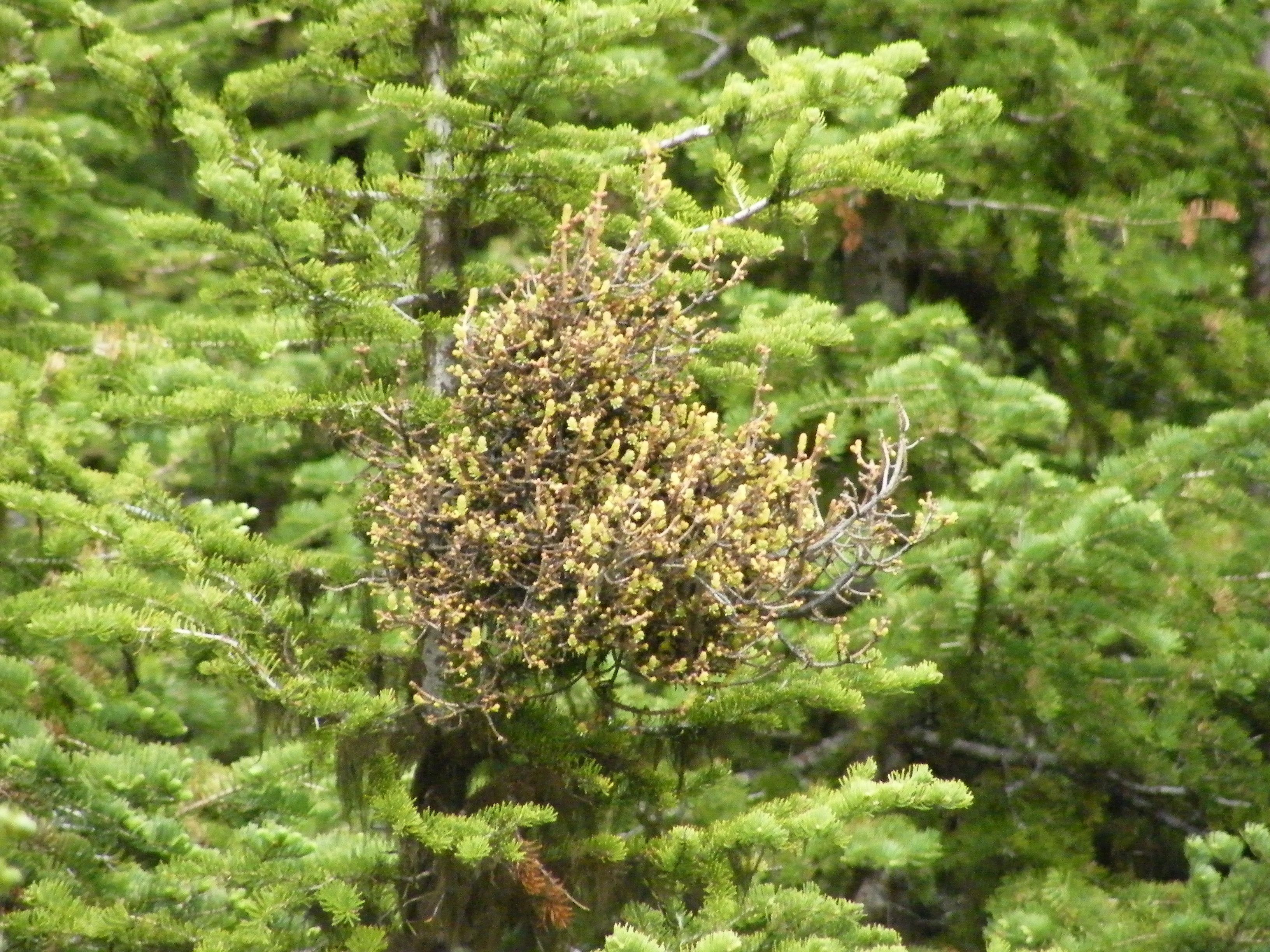 Fir broom rust is apparent on this subalpine fir. Photo: Dave Shaw, © Oregon State University