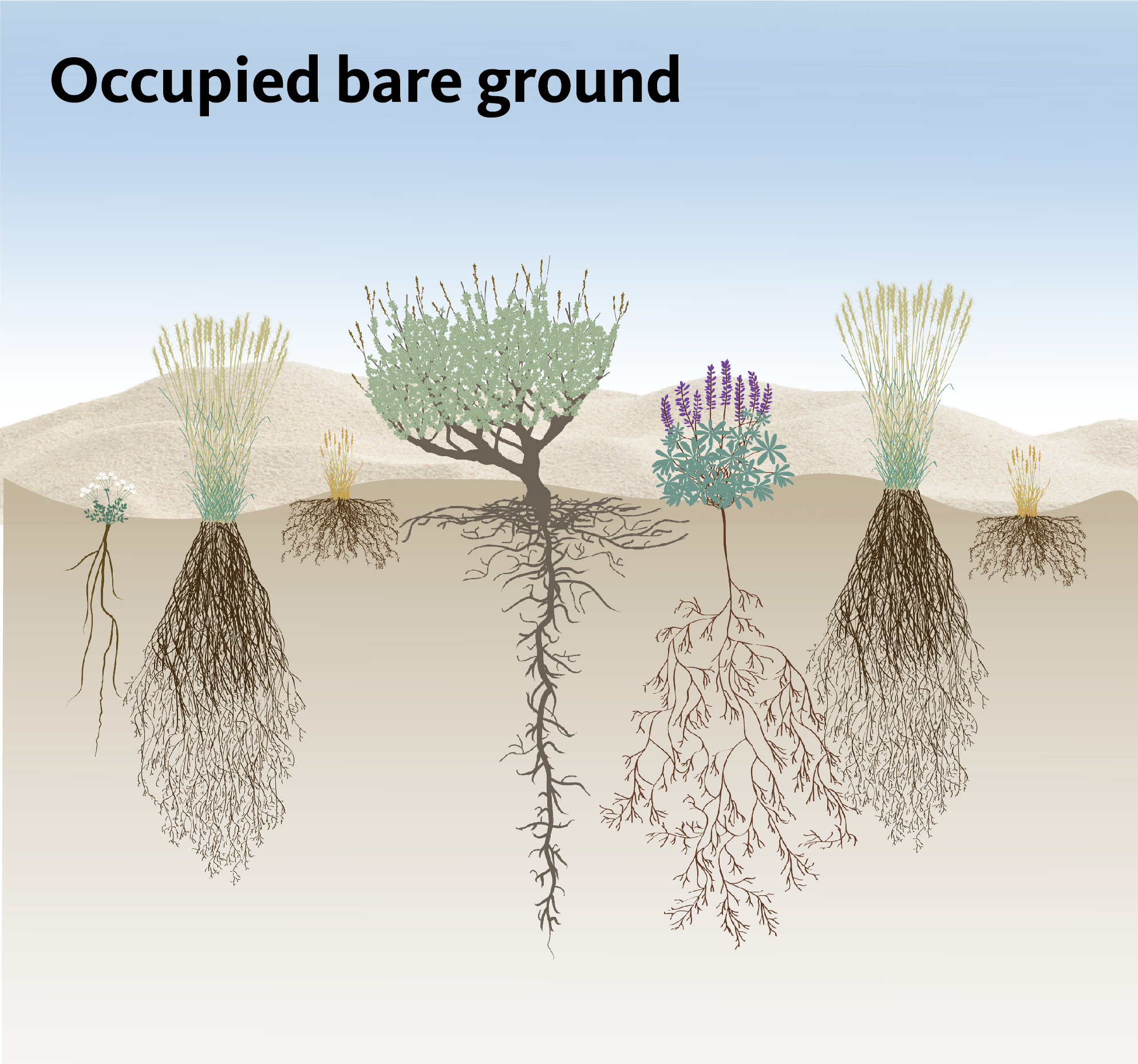 Figure 4. An example of a healthy sagebrush steppe with all niches filled by plants of different functional groups. Areas of bare ground appear between perennial plants. An underground view shows resources are being fully utilized.