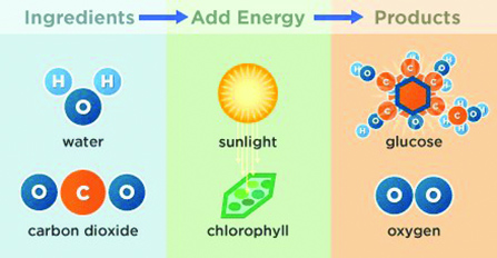 Figure 7. Diagram depicting photosynthesis.