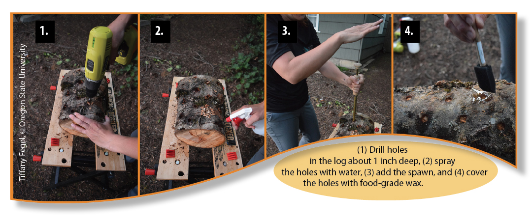 This sequence of photos shows the steps involved in starting shiitake mushrooms.