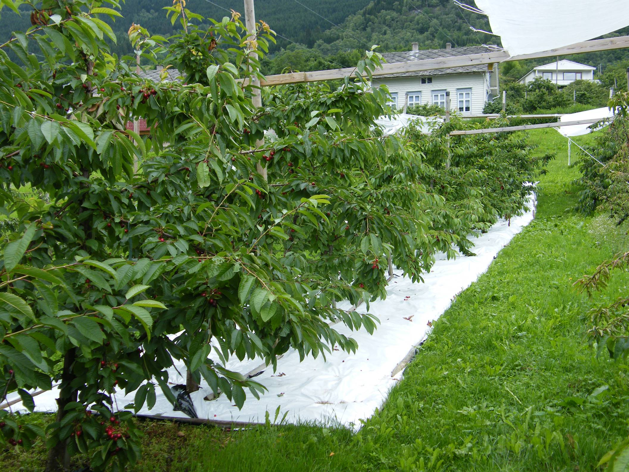 Plastic soil covers can be used to control soil moisture by reducing the infiltration that can cause fruit crack.