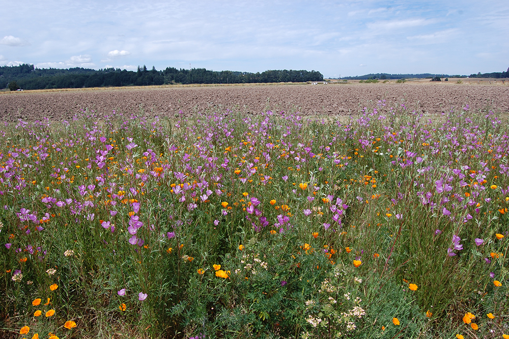 An insectary field border next to a crop field provides food and shelter for pollinators. Photo: USDA-NRCS Corvallis Plant Materials Center