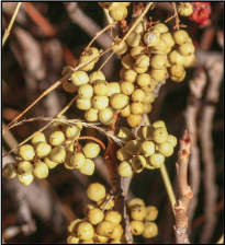 Photo of western poison-ivy fruit in winter