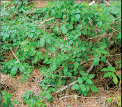 Photo of western poison-ivy growing as a vine on the ground