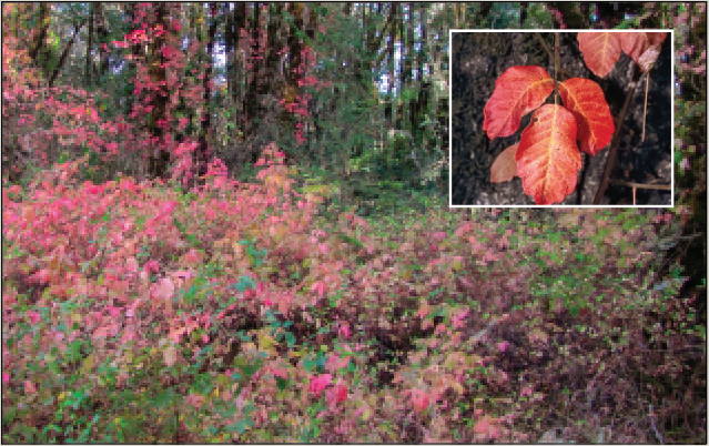 Photo of Pacific poison-oak growing in fall and showing brilliant red foliage