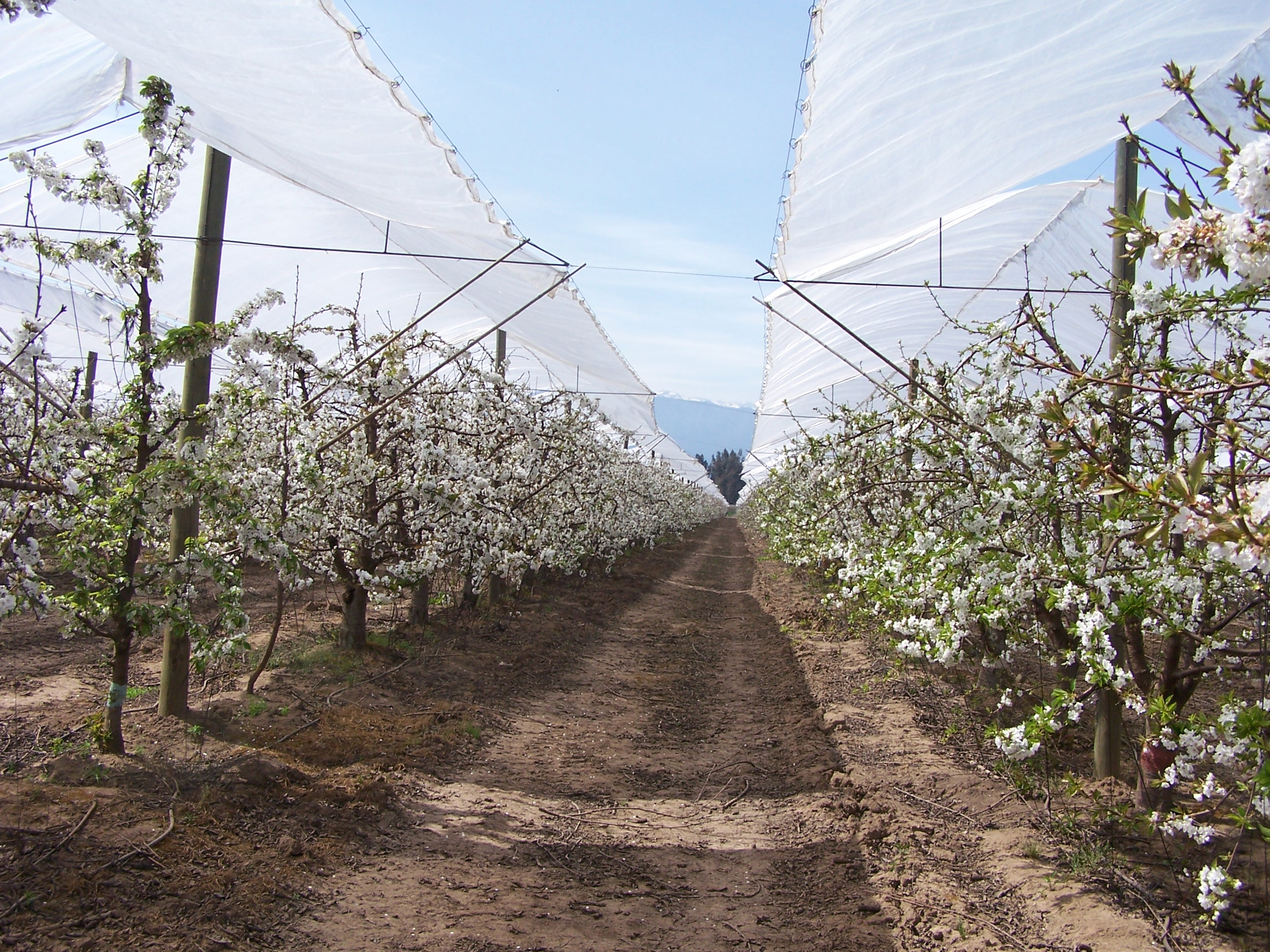 Retractable row covers have been erected over the trees in this cherry orchard.