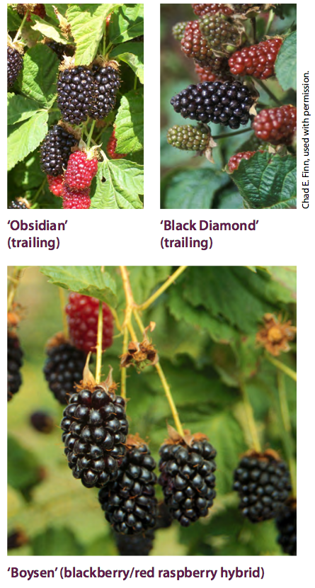'Obsidian' (Trailing), 'Black Diamond' (Trailing), 'Boysen' (blackberry/raspberry hybrid)