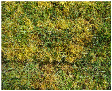 A lawn in western Oregon invaded by moss growth