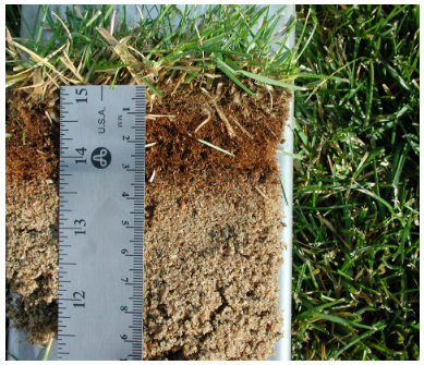 Moss can thrive in the dark brown zone of thatch