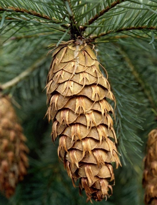 Douglas-fir cones have pitchfork-shaped bracts that are longer than the scales.