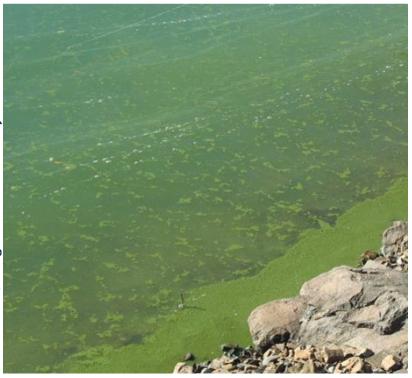 Cyanobacteria scum along an Oregon lakeshore.