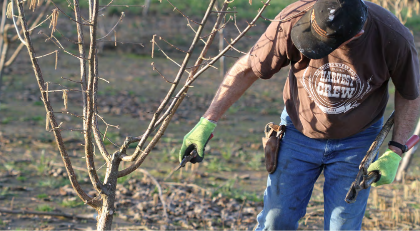 Growing Hazelnuts In The Pacific Northwest Training And Pruning