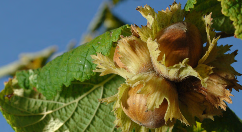 Pollination and Nut Development