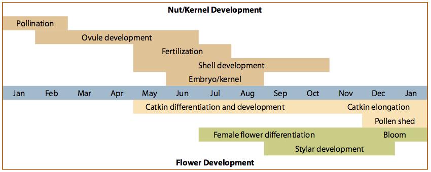 Nut, kernel, and flower development in hazelnut.