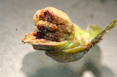 Close-up of blasted bud from filbert bud mite infestation