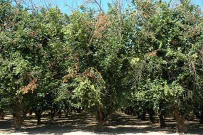 This orchard, heavily infected with eastern filbert blight, has many dead and dying branches