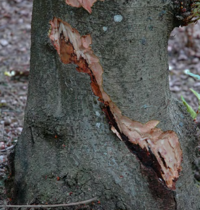 Phytophthora root rot