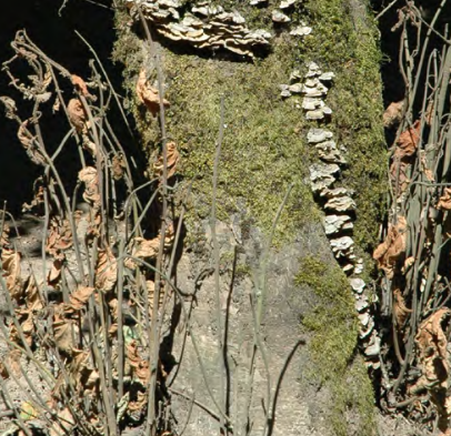 Heart rot fungi have colonized this trunk, as evidenced by the fruiting bodies seen in this picture