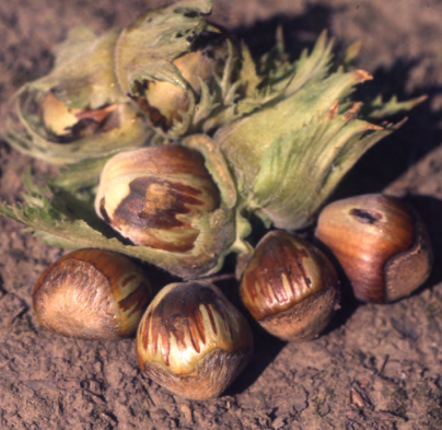 Brown stain on hazelnuts