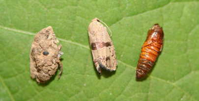 Filbertworm cocoon, adult, and larva