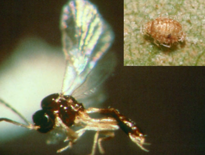 Trioxys pallidus adult and Aphid mummy caused by Trioxys feeding