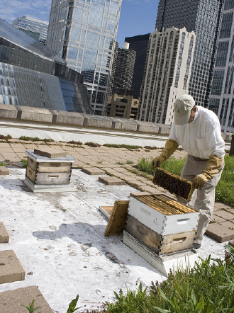 Honey bees located on the roof of Chicago City Hall, operated by the Chicago Honey Cooperative
