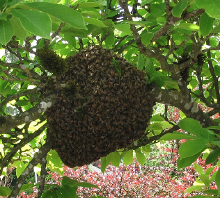 Honey bee swarm resting