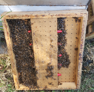 A bee escape is placed between the supers and brood chamber and allows honey harvest with minimal disruption