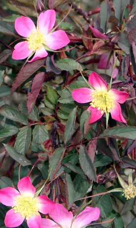 Redleaf rose, a hardy shrub rose known for its blooms and reddish foliage