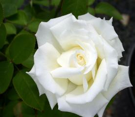 A white blooming hybrid tea rose, 'Pope John Paul II.'